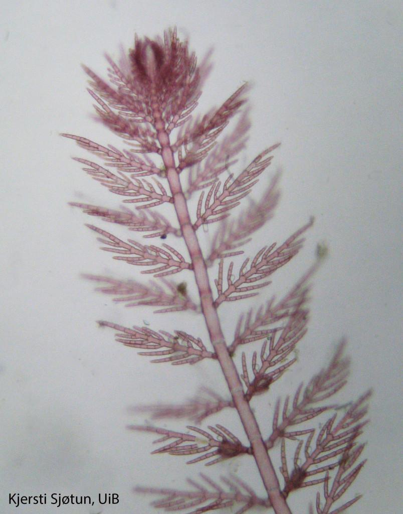 Antithamnion nipponicum