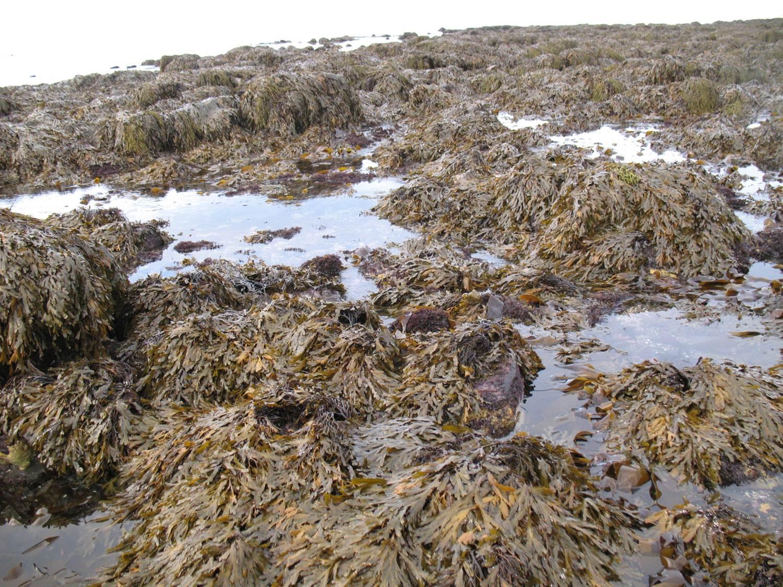 Fucus serratus (Iceland)